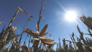 Un cultivo de maíz en Luján, a la afueras de Buenos Aires, Argentina. 8 de agosto de 2019