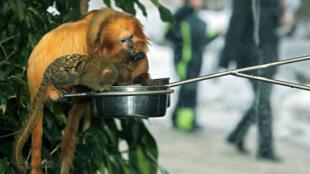 Le plus petit singe du monde, un pygmé Marmoset, partage son repas avec deux  tamarins-lions dorés.