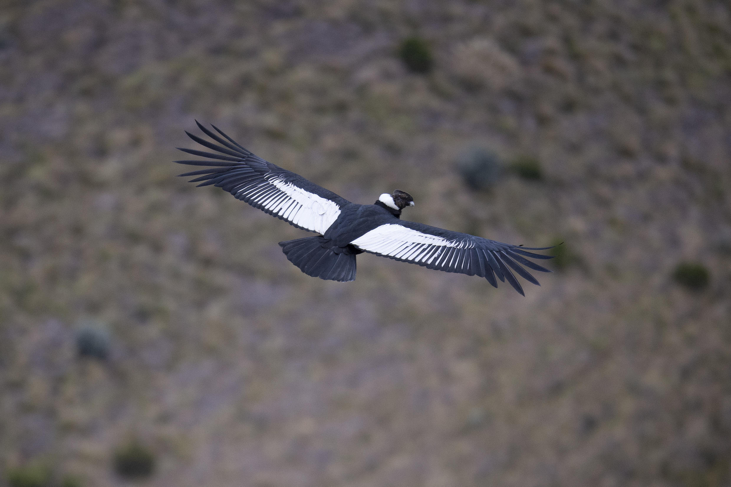 A male Andean condor flies over the Chakana nature reserve in September 2020.