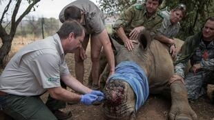 Rhino poaching in South Africa fell by half in the first six months of 2020, in part because a coronavirus lockdown made it harder to get around