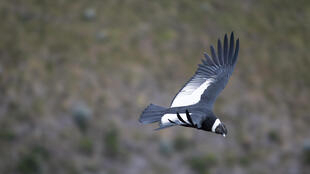 Bolivian authorities are investigating the death of 35 condors, who were believed to be poisoned and are part of an endangered species