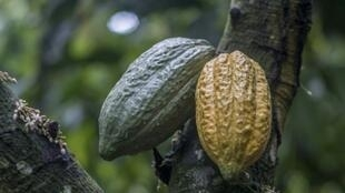Two cocoa pods, which can each hold some 30 to 40 cocoa beans that are used to make chocolate