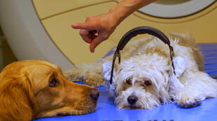 The researchers used scanners to monitor how dogs and humans process visual information