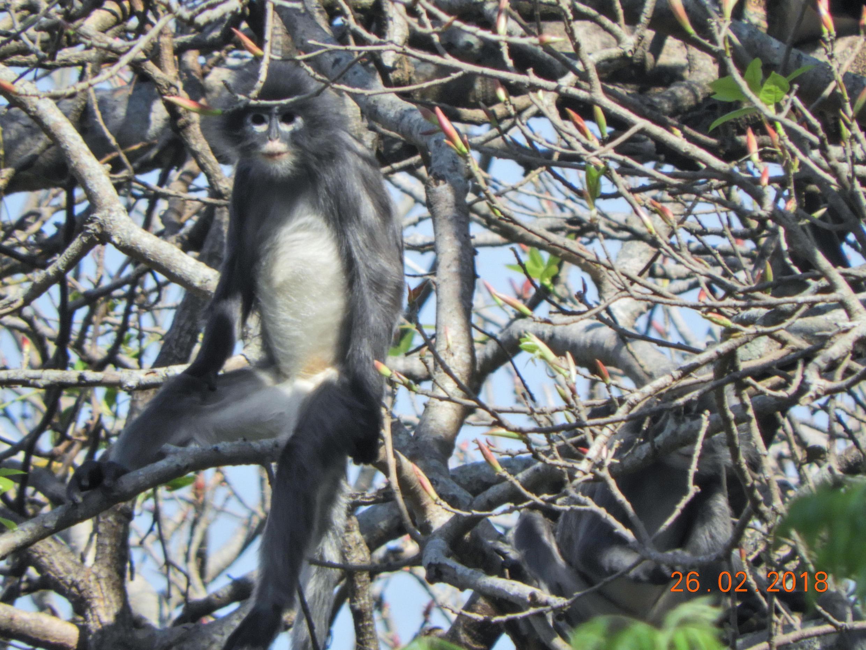 Popa langur nouvelle espèce de singe en Birmanie