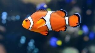 Un poisson clown à l'Aquarium du Pacifique à Long Beach, en Californie, le 26 avril 2012