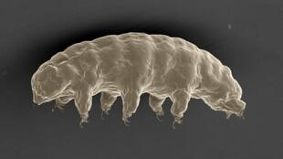 A scanning electron microscope image of the hydrated tardigrade, Ramazzottius varieornatus