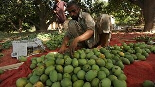 A labourer sorts mangoes before packing them into boxes at a farm in Multan, Pakistan