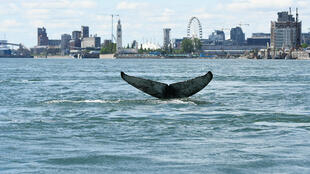 This handout picture courtesy of Reseau Quebecois d'Urgences pour les Mammiferes Marins (RQUMM) shows the tail of a humpback whale swimming in the water by Montreal on May 30, 2020. The humpback whale, no doubt lost, was a rare sight in these parts. It was found dead Tuesday morning.
