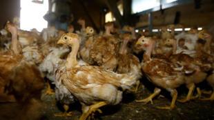 Poulets d'un élevage confinés dans leurs abris en raison des risques de grippe aviaire, le 25 janvier 2006 à Tartas