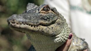Un alligator de Floride.
