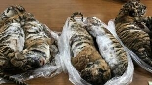 Three Vietnamese men were arrested after police found seven dead tigers in their car