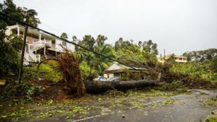 Un arbre déraciné par les vents dans le village de Petit Bourge, près de Pointe-à-Pitre, le 19 septembre 2017.