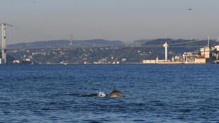A dolphin swimming through Istanbul's unusually calm Bosphorus Strait
