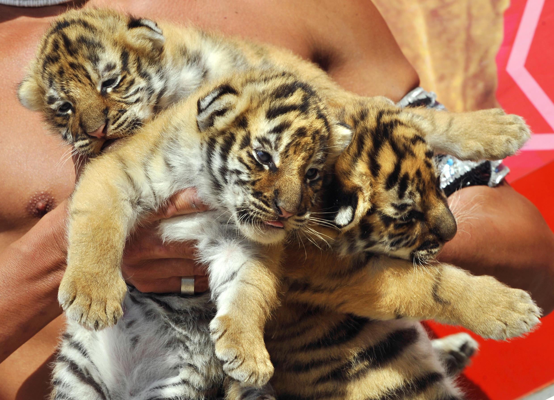 cirque-pinder-tigre-animal