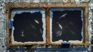 """Nearly 100 orca and beluga whales captured for sale to aquariums have been kept in small pens dubbed a """"whale jail"""" in the Russian Far East"""