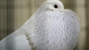 A Pomeranian Pouter pigeon takes part in the Fancy Pigeon exhibit at the annual British Homing World Show of the Year