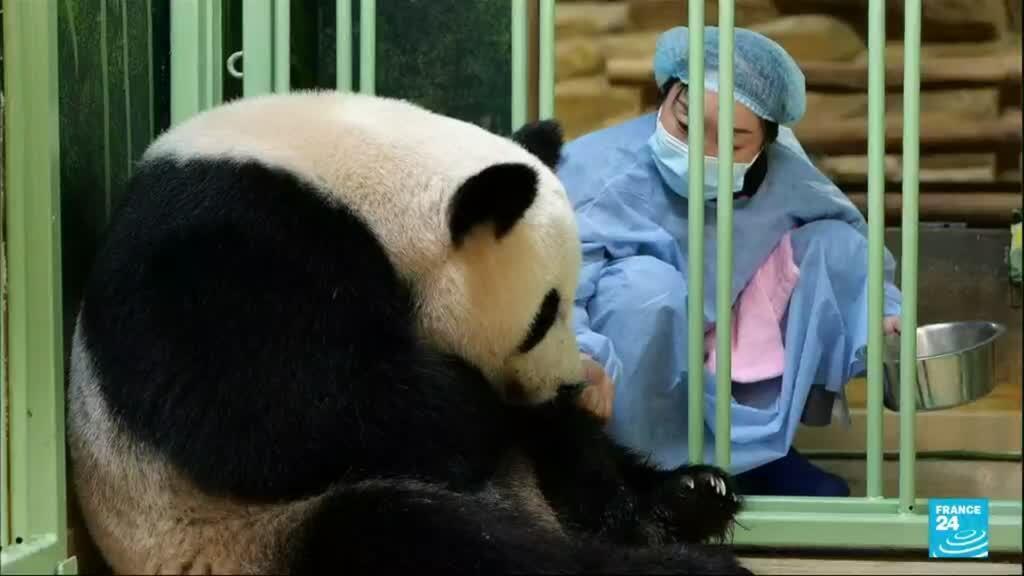 2021-08-02 18:12 En France, deux pandas géants sont nés au zoo de Beauval