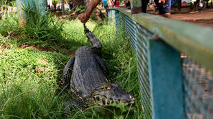 The escaped reptiles scared residents of the town of Ita, but some daredevils were not daunted