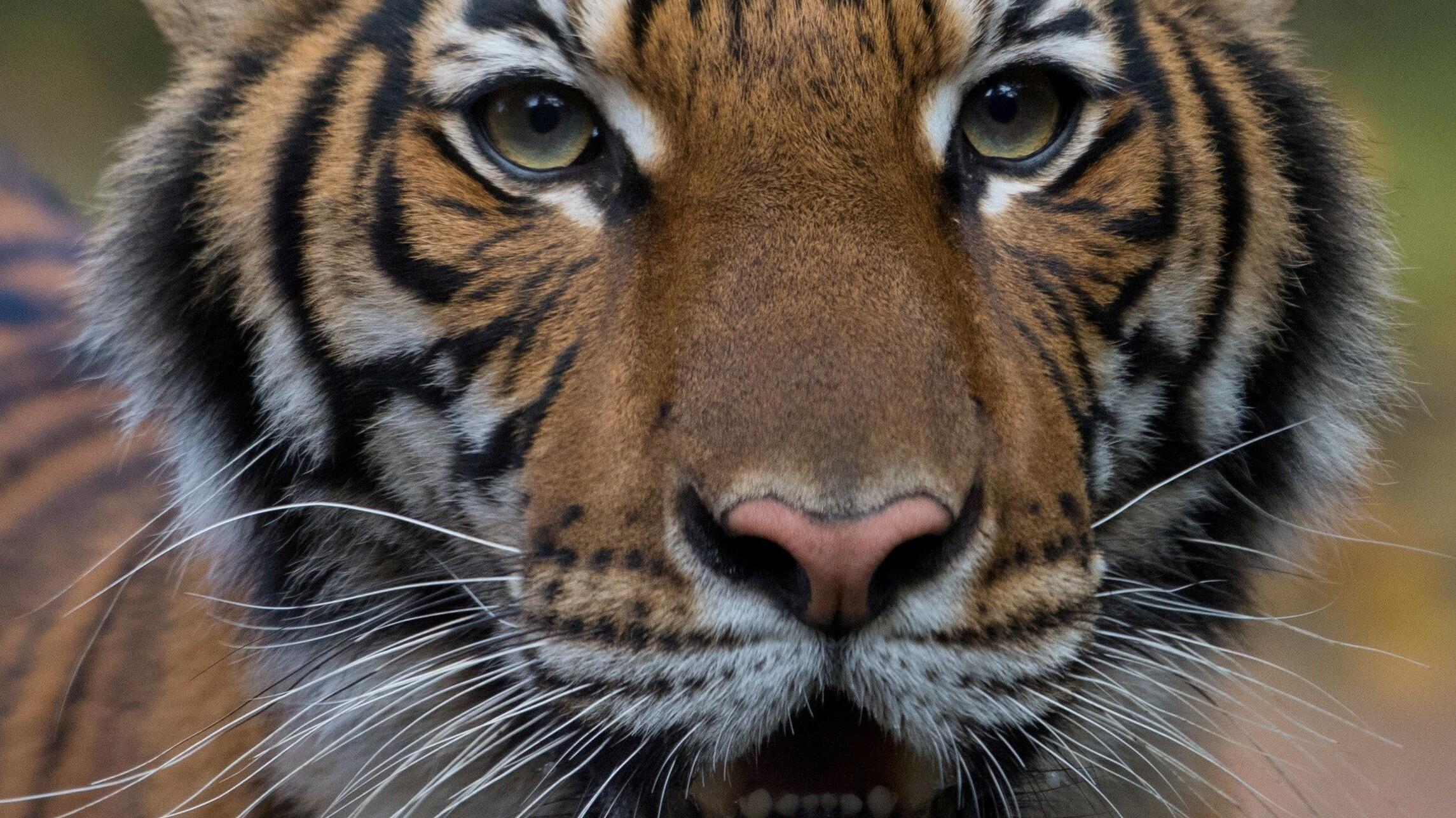 Foto publicada el 5 de abril de 2020 por el Zoológico del Bronx, en Nueva York, donde se ve un a Nadie, un tigre de Malasia que dio positivo por coronavirus.