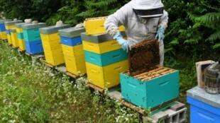 Le gouvernement prépare un décret rendant obligatoire l'étiquetage de tous les pays d'origine des miels de mélange vendus en France. Ici un apiculteur le 19 juin 2018 à Ploerdut (Morbihan)