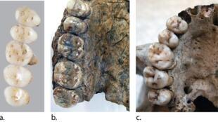 Une image des fossiles de dents retrouvées dans l'île de Callao, aux Philippines.