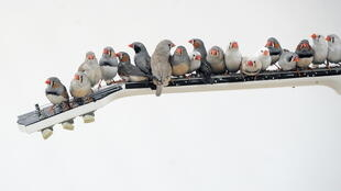 Vehicle traffic makes it much harder for zebra finches to solve problems, and sharply compromises the ability of crickets to mate