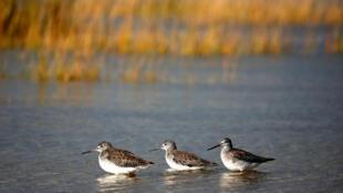 Tres aves costeras en Barnstable Harbor en Barnstable, Massachusetts, EE. UU., el 29 de octubre de 2018.