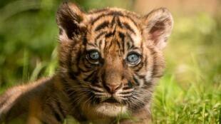 Un cachorro de tigre de Sumatra, especie en peligro crítico de extinción, se exhibe en el el zoológico de Wroclaw, Polonia, el 24 de julio de 2020