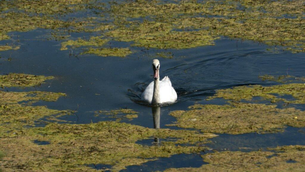 Un cisne trata de comer en el Danubio el 12 de septiembre de 2018.