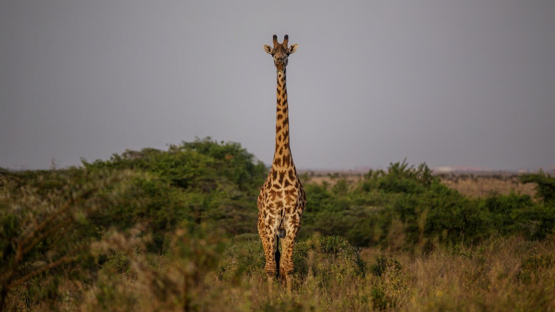 Une girafe photographiée dans le parc national, le 11 juillet 2017.