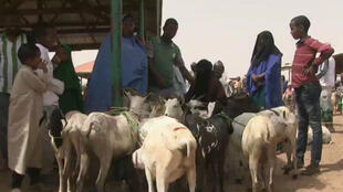 Sur le marché au bétail de Burao, au Somaliland.