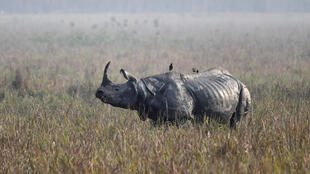 Hunting and habitat loss have slashed the number of one-horned rhinos to just a few thousand, almost all in the northeastern Indian state of Assam