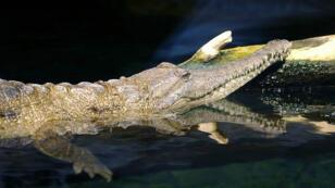 Un crocodile d'eau douce australien.