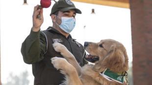 Miembros del equipo de entrenamiento canino de la Policía Chilena juegan con un perro Golden Retriever llamado Clifford, antes del inicio de su sesión de entrenamiento destinado a detectar a personas infectadas con coronavirus, el 14 de julio de 2020 en Santiago
