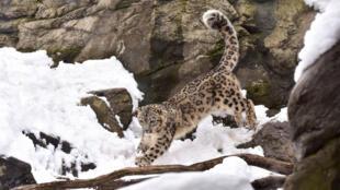 Un léopard des neiges profitant de la neige après une tempête, au zoo du Bronx à New York.