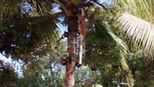 روبوت يتسلق الأشجار التي تعد خطيرة على حياة الإنسان لجني ثمارها
