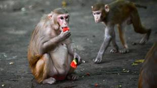 """Estos estudios, """"de los primeros en demostrar que los primates no humanos pueden desarrollar inmunidad protectora contra el SARS-CoV-2, son prometedores"""", consideró la revista científica Science"""