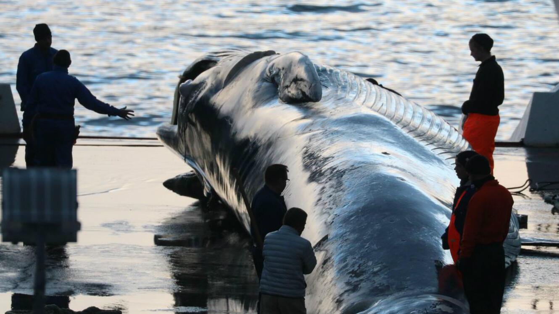 Des employés d'une entreprise baleinière autour d'un cadavre de rorqual commun, en juin 2018.