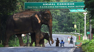 A wild elephant and a calf cross a National Highway at the flood-affected Kaziranga National Park in India's northeast state of Assam