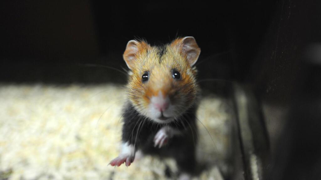 Covid-19 : à Hong Kong, l'efficacité des masques est prouvée avec des hamsters