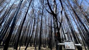 اشجار محترقة في مقبرة تقع ضمن منطقة تشرنوبيل المحظورة، 11 حزيران/يونيو 2020