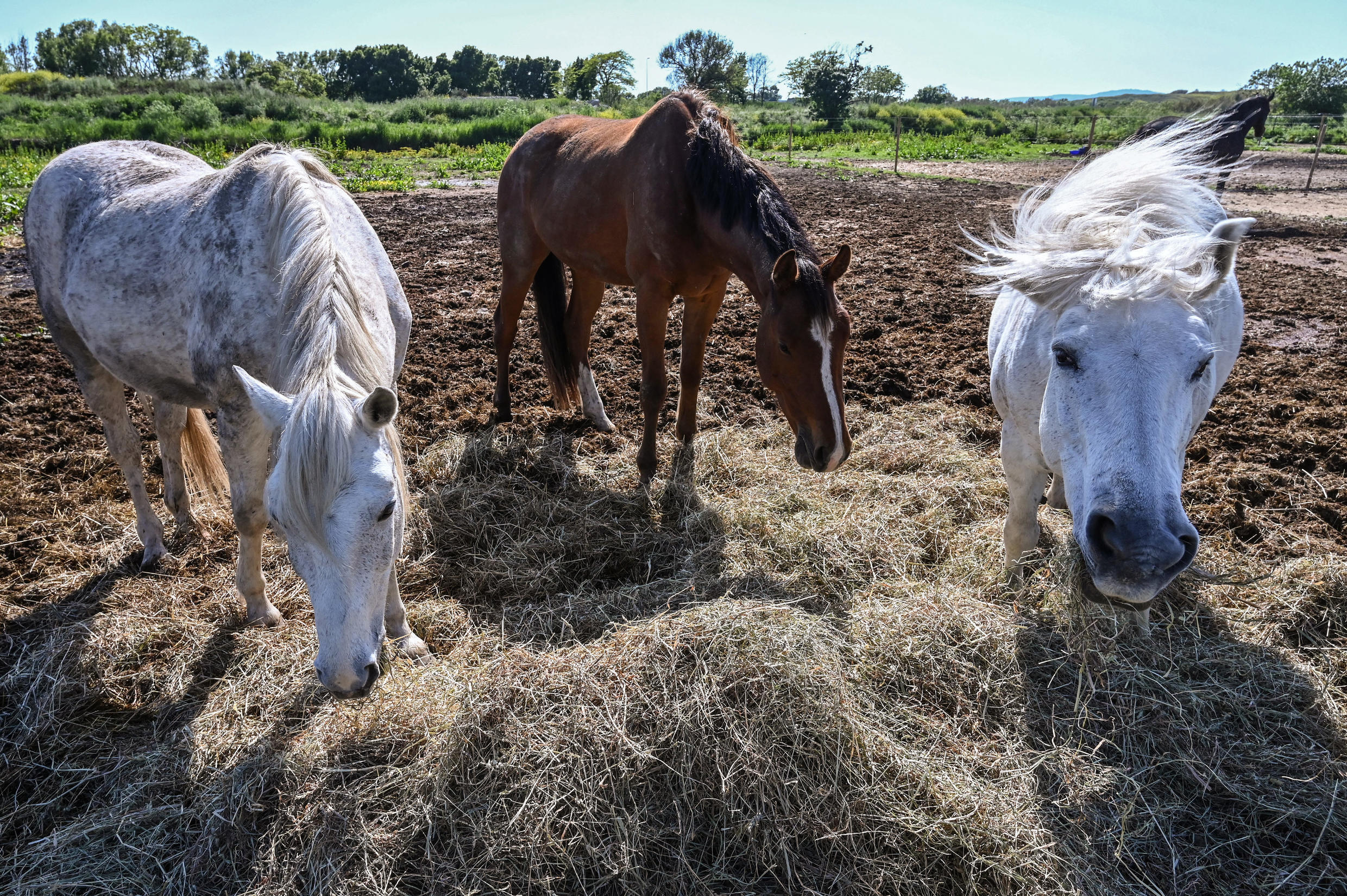 Horses eat hay in a field in Lattes, near Montpellier, southern France on April 24, 2020.