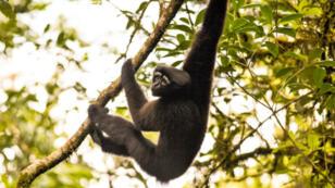 Un gibbon houlock Skywalker, accroché à sa branche comme Luke à sa fragile antenne.