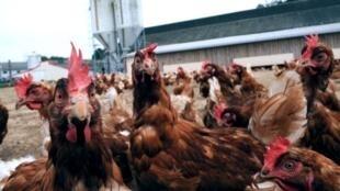 Ferme avicole intensive en Bretagne, en 2013.