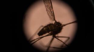Le moustique Anopheles gambiae, vecteur du paludisme, est surnommé par les scientifiques l'animal le plus dangereux de la Terre