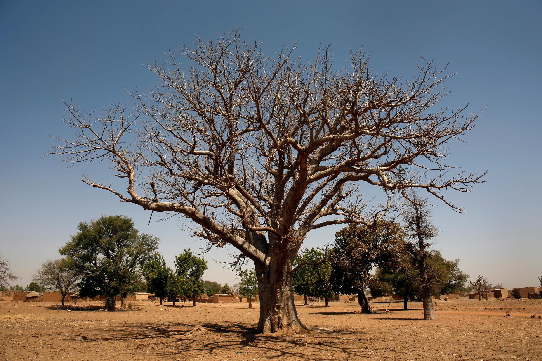 A baobab tree pictured at Nedogo village, near Burkina Faso's capital Ouagadougou.