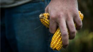 Le Conseil d'État a annulé l'arrêté ministériel qui interdit la culture du maïs OGM de Monsanto en France.