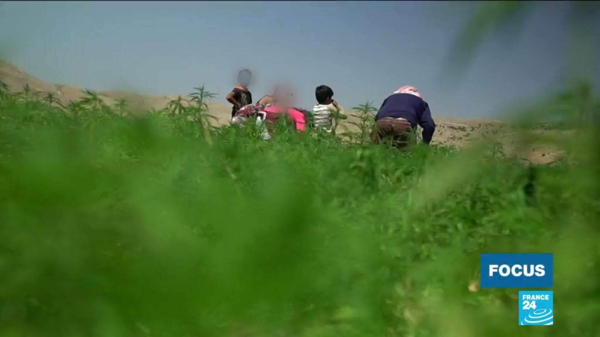 Liban cannabis Focus