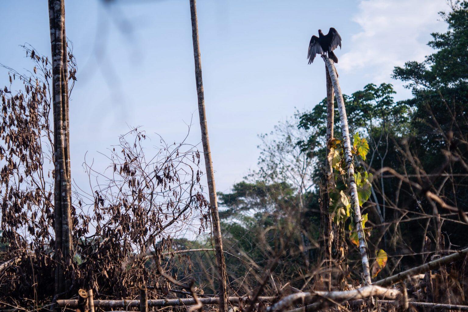 Un buitre posado en un árbol en medio de una tala de bosque, en San Juan de Losada, espera que pequeños roedores corran huyendo de las llamas y sean presas fáciles.