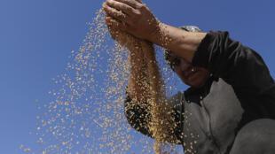 Lebanon grain